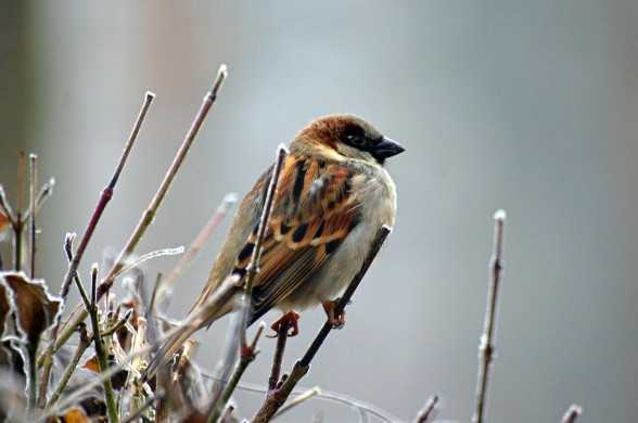 Varpunen, lintu