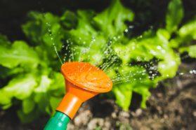 Kastelukannu, viljely, kesätyö, puutarhanhoito