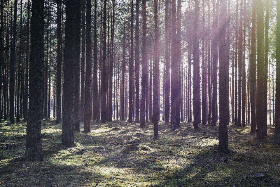 Metsä, aurinko, auringonsäteet