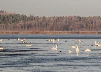 Laulujoutsen, Kuorsumaanjärvi
