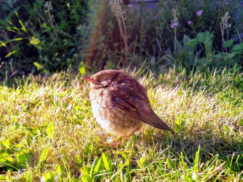 Lintu, linnunpoikanen